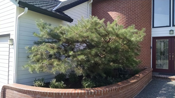 Pine tree after