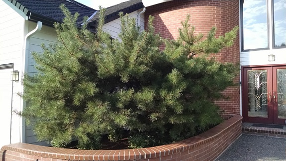 Pine tree before